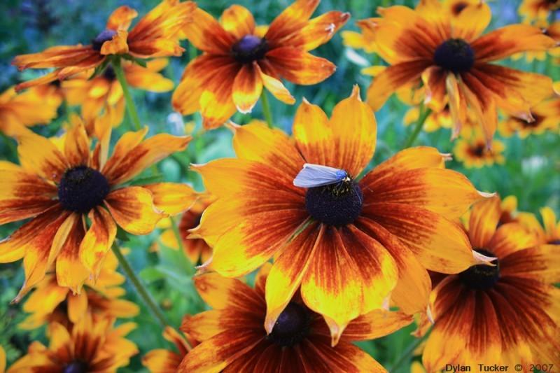 Moth on black eyed susan