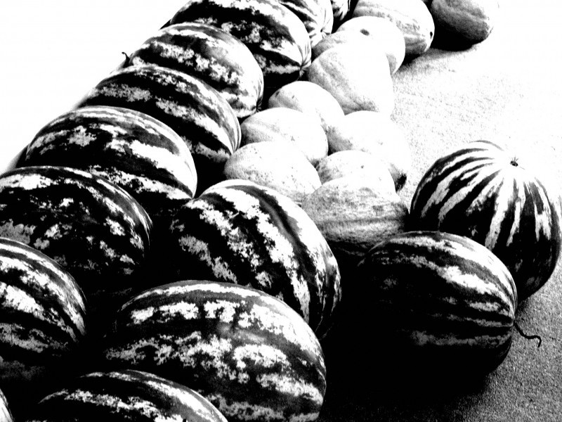melons lined up at SPC