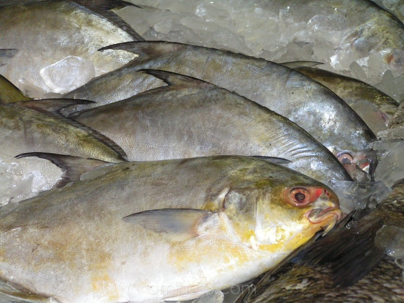 fresh pompano on ice