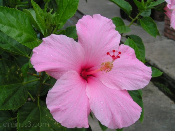 A pink hibiscus