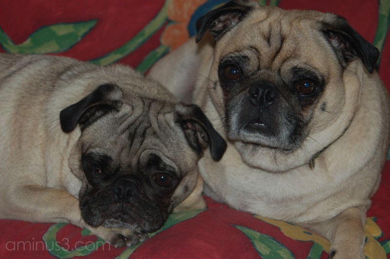 Katy and Jenn's pugs