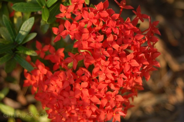 Dwarf ixora in our garden