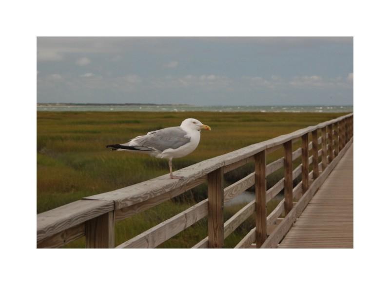 Gull CapeCod marsh pier