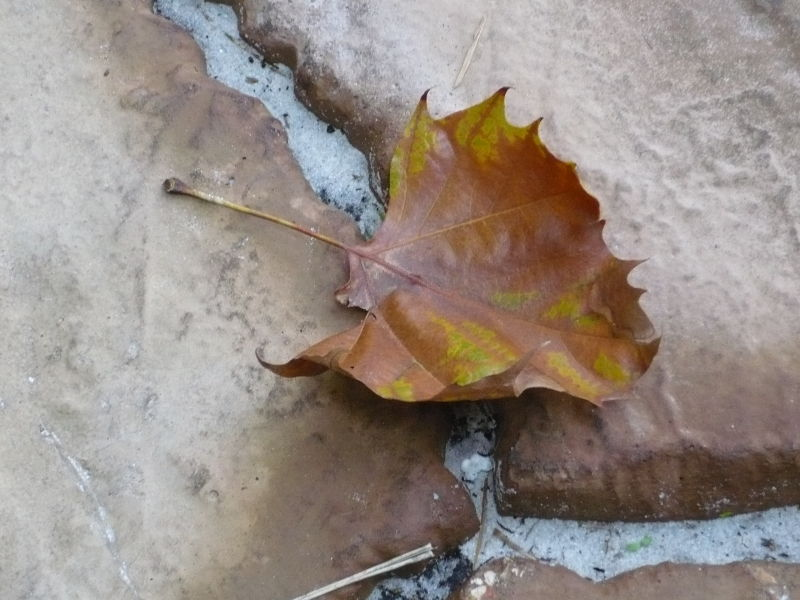 Autumn Florida Leaf
