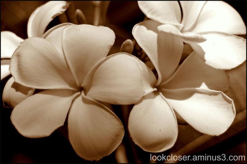 flowers sepia plumeria
