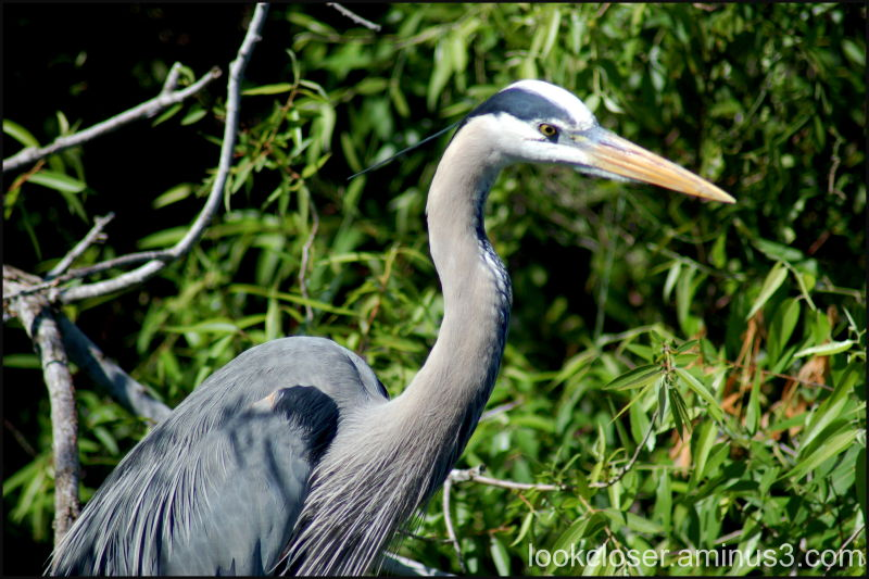 heron Everglades Florida