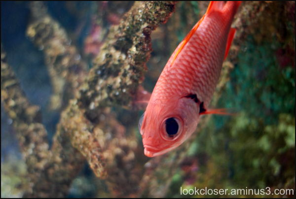 Mote Marine fish red aquarium