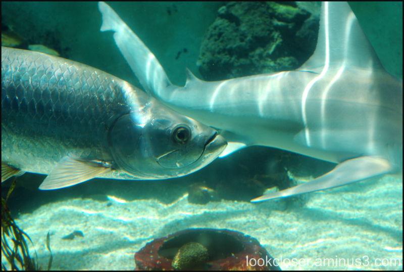 Mote Marine tarpon aquarium