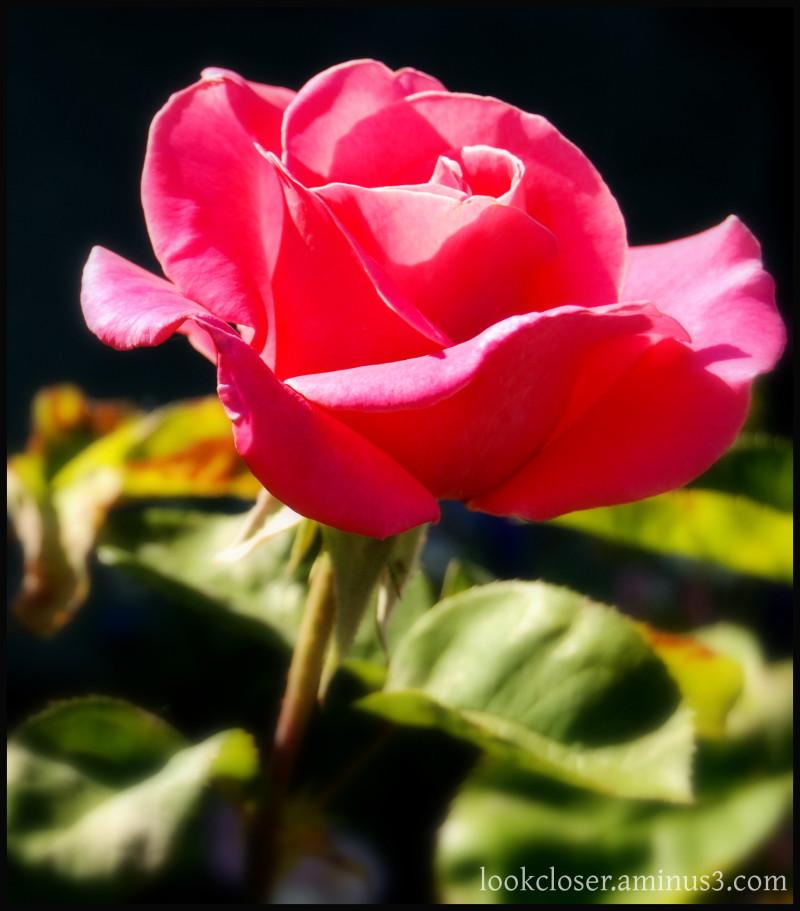 CA pink rose