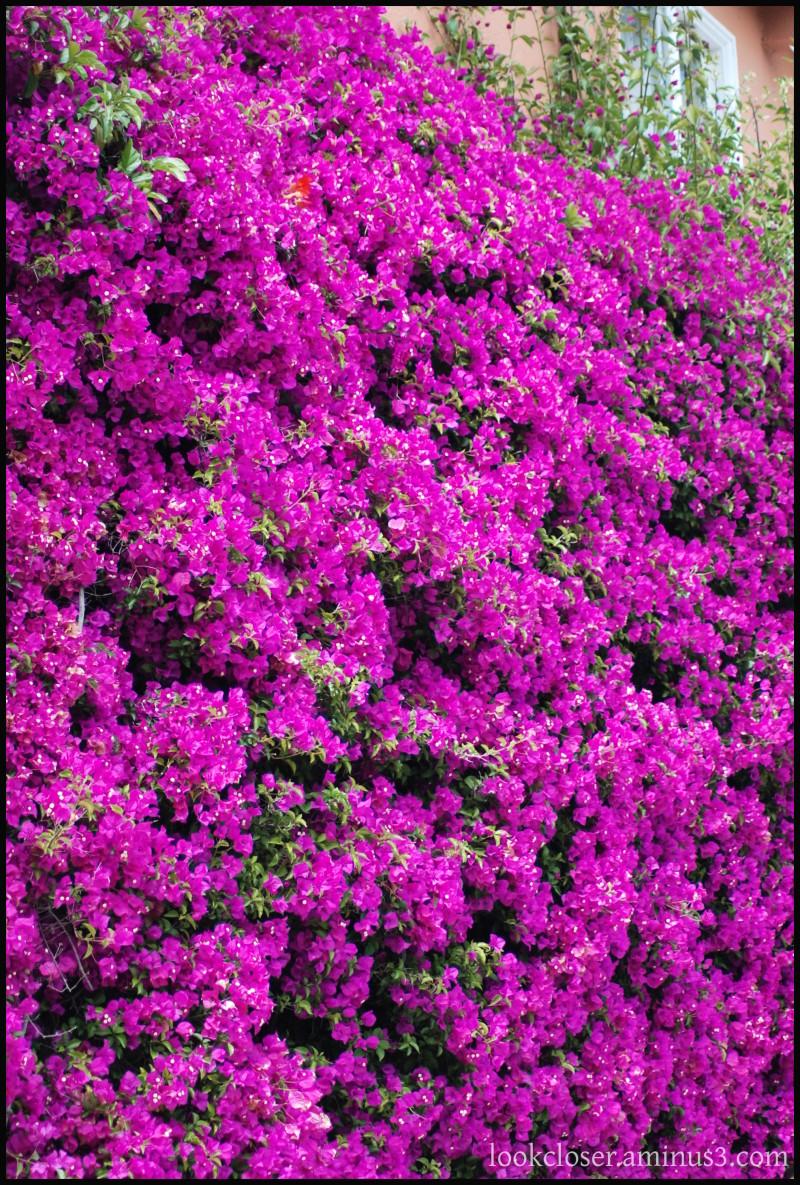 SF CA bougainvillea flowers magenta