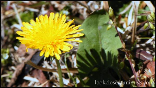 yellow dandelion atlanta