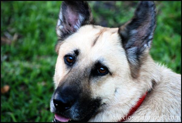 dini red collar dog pet