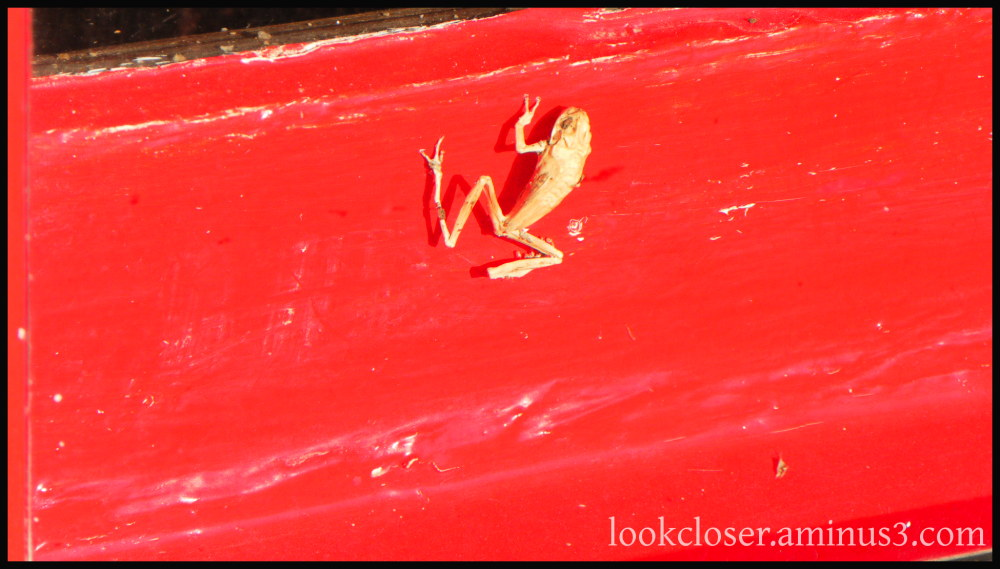 red wall dried frog