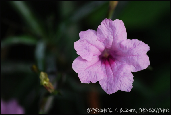 Pink mexican petunia flowers