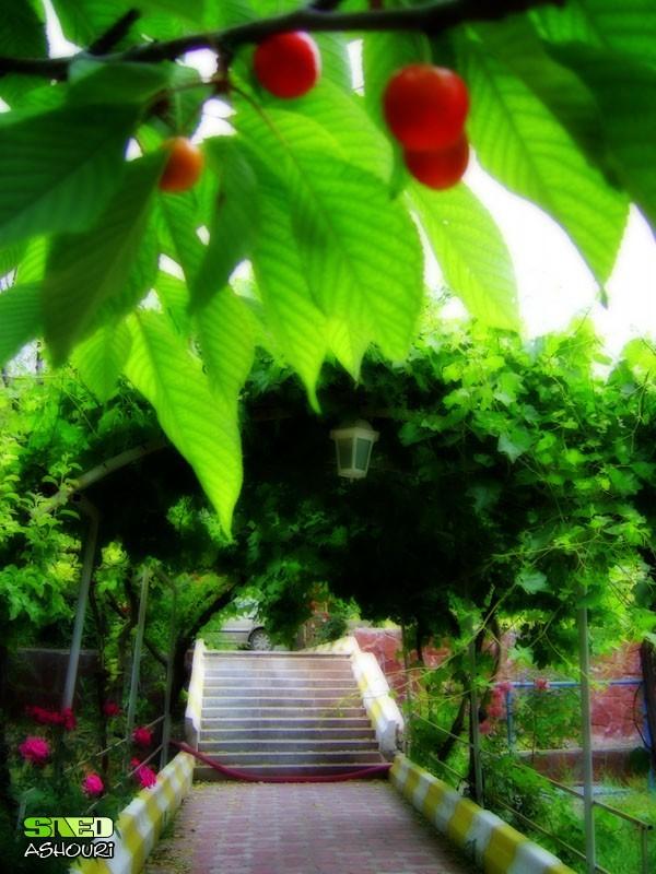 Cherry Garden Nature Tree