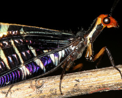 Lacewing portrait