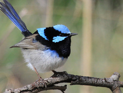 Superb Blue Wren looking adorable