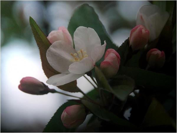 A rose in springtime