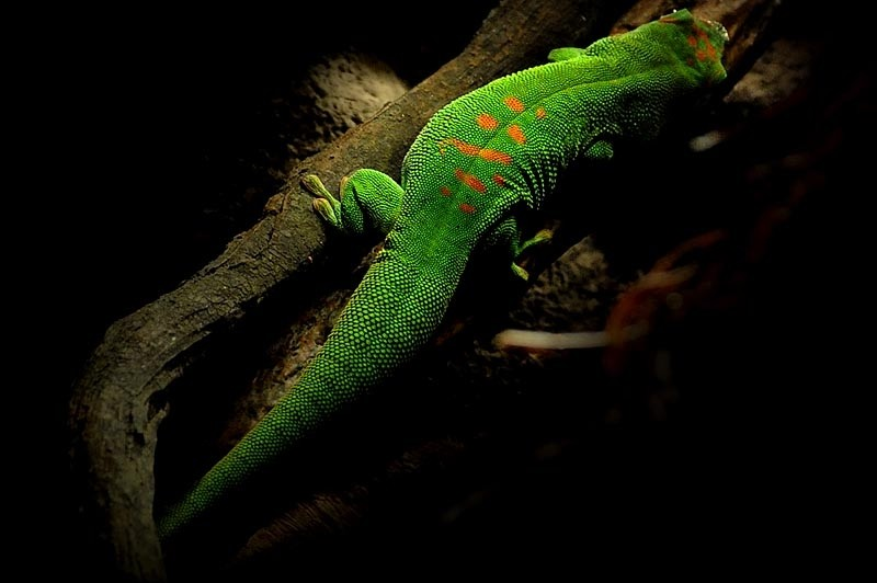 Gecko at the Bronx Zoo