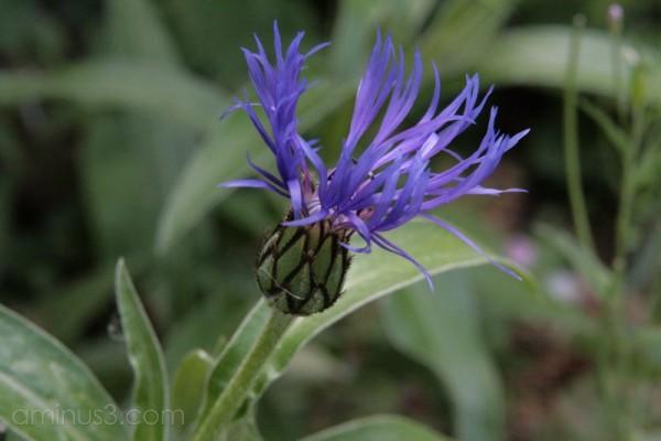 bluebottle cornflower