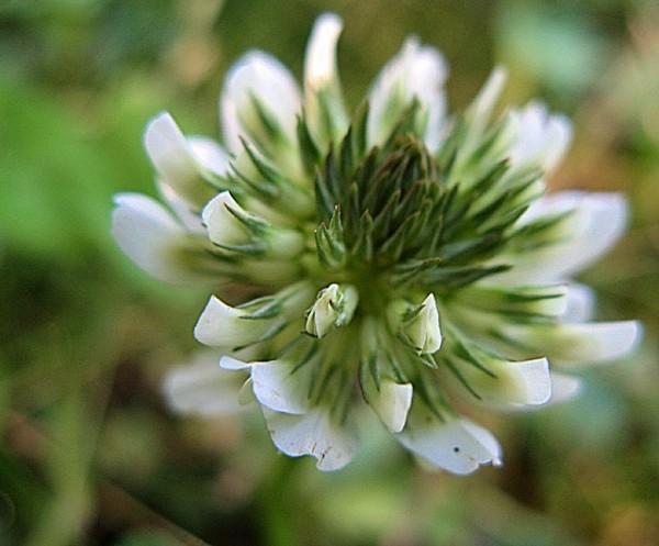 les dessous d'une fleur de trèfle