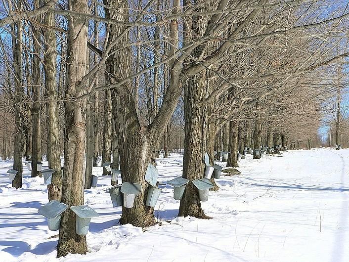 érablière - maple trees