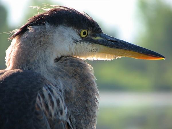 grand héron - great heron