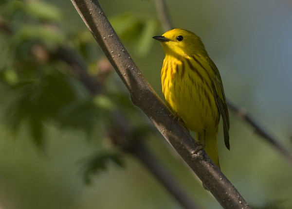 paruline jaune - yellow warbler