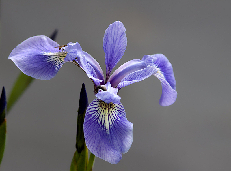 iris versicolore - harlequin blue-flag