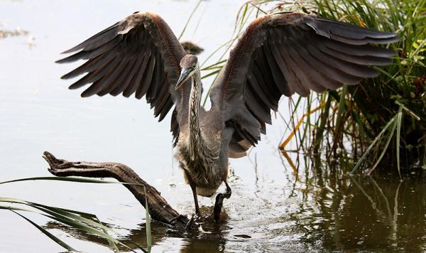 héron à la chasse - hunting heron