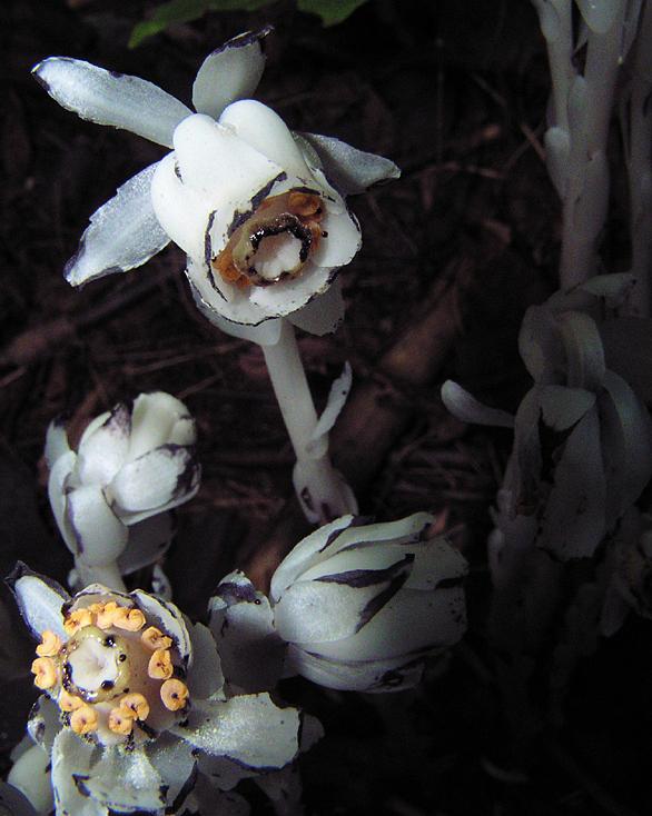 la fleur blanche de la pénombre