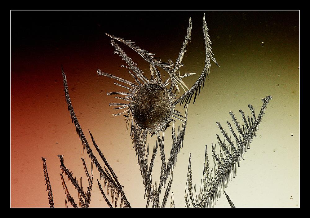 fleur de glace - ice flower