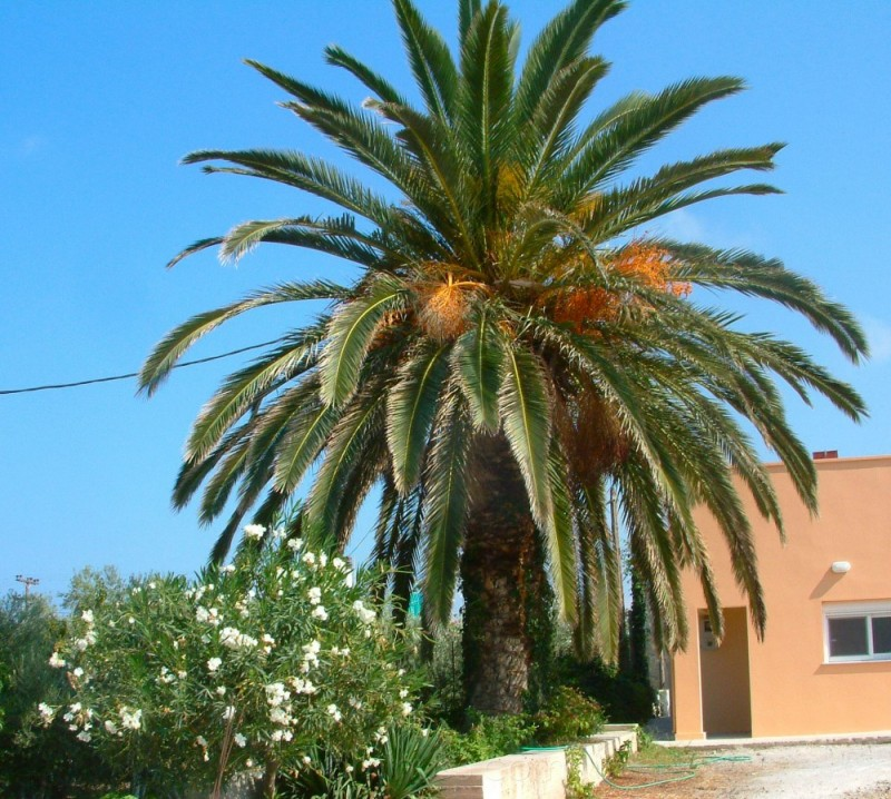 Palm tree in Maleme, Crete