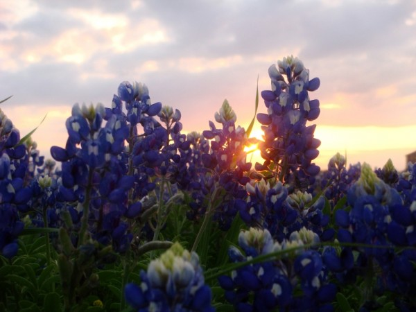 a field of blue bonnets