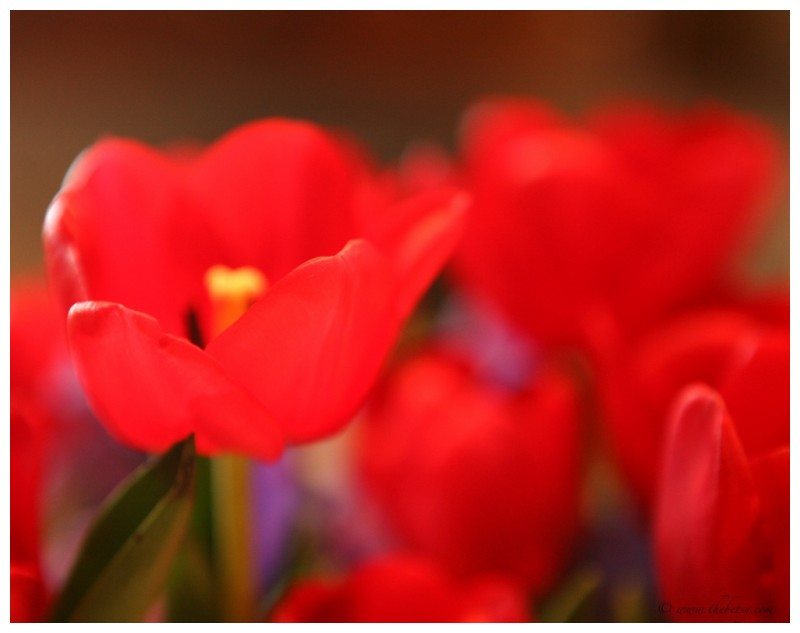 blog tulips husband flower red soft dof bokeh