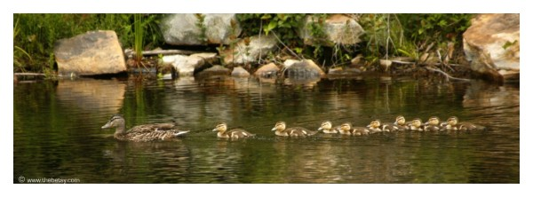 duck family ducklings swimming lake ricketts glen