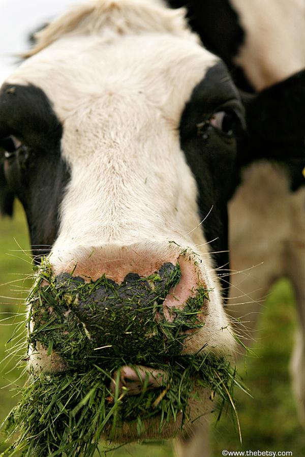 hopewell cow landolakes dairy farm grass tongue