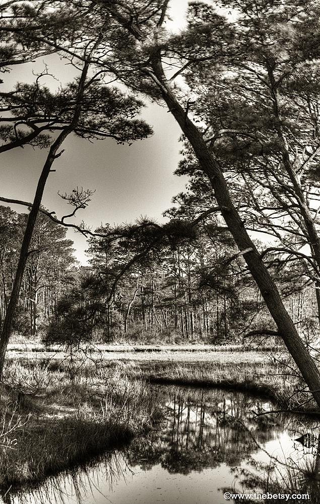 assateague forest trees sepia