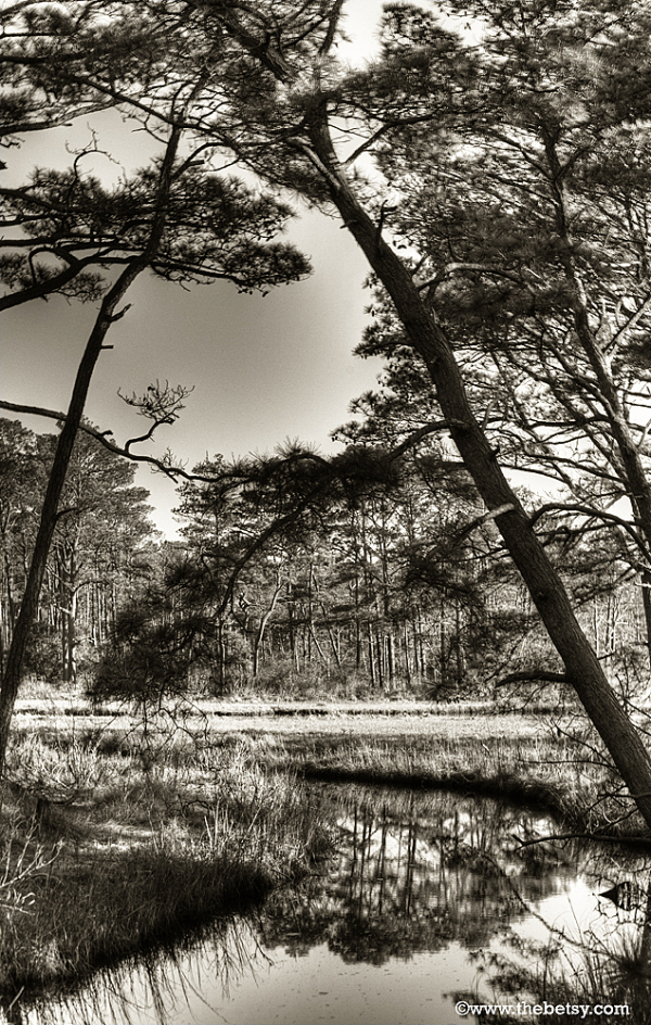 assateague forest trees sepia