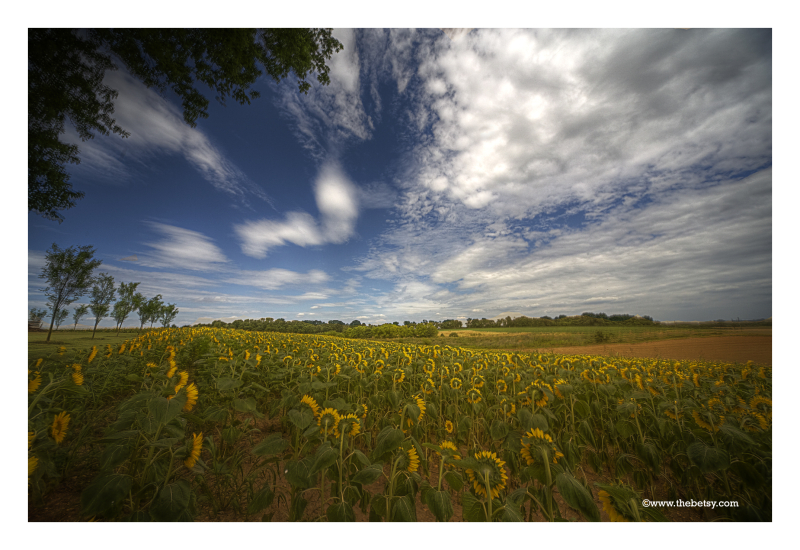 landscape, sunflowers, maryland, fields, sky, summ