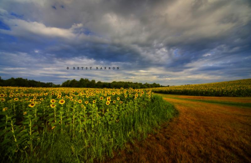 sunflowers, field, sky, landscape