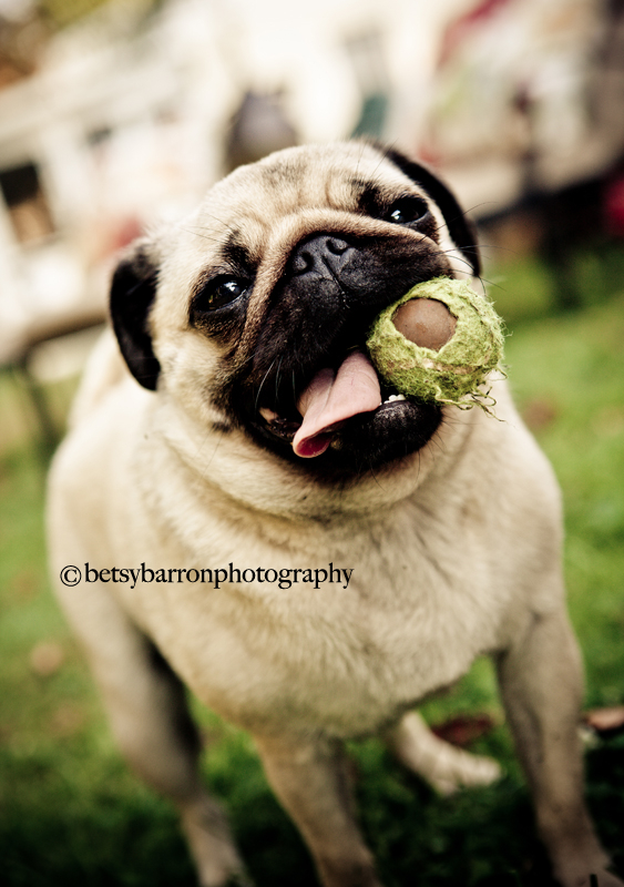 pug, dog, animal, ball, joy, love