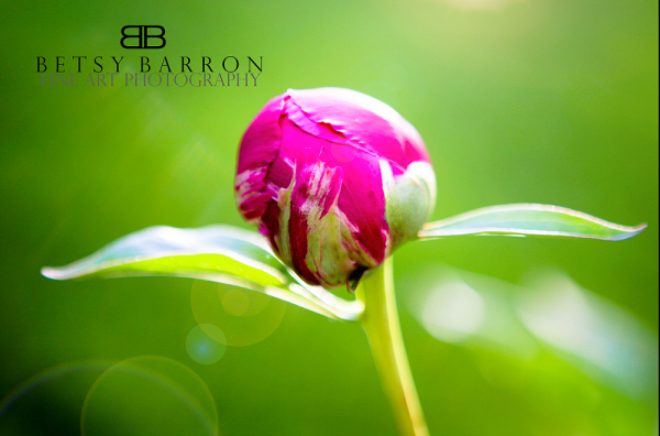 peony, bud, flower, plant, spring, pink, green