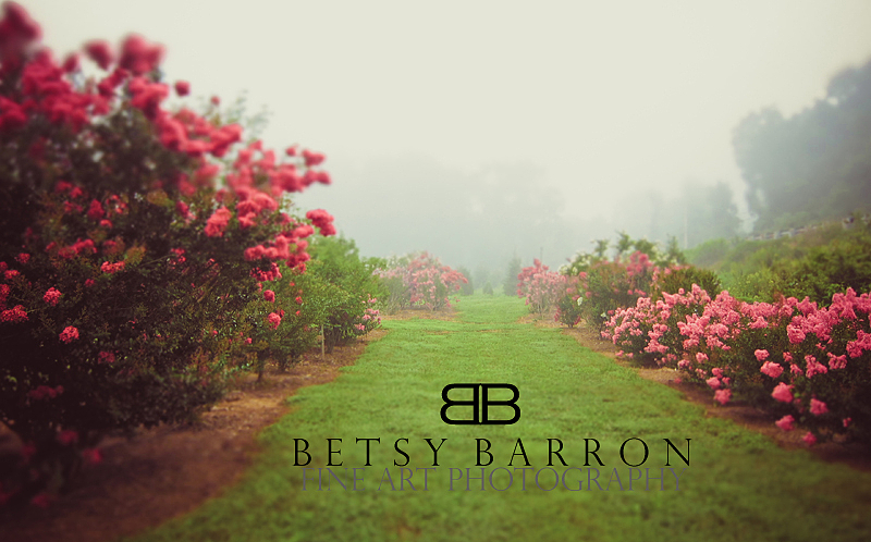 crepe, myrtle, fog, path, lawn, green