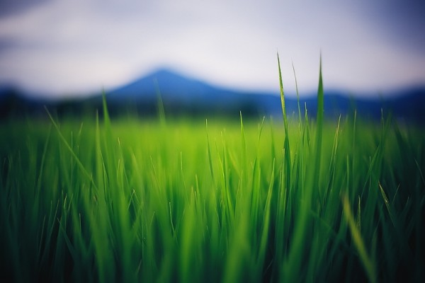 ricefields in japan