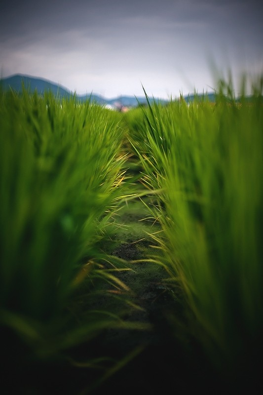 ricefield japan