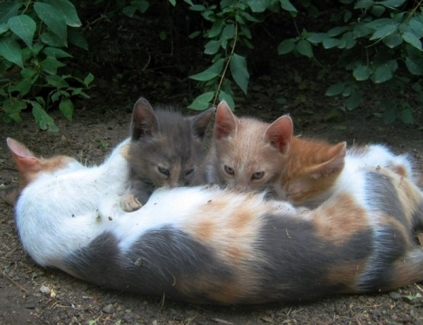 cat cats kitten mother milk