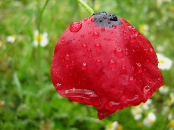 Poppy nature raindrops garden spring flower