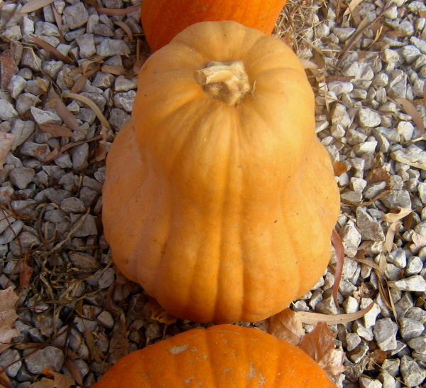 pumpkin pumpkins orange