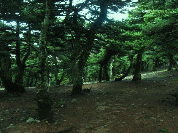 Fir forest kitheronas mountain